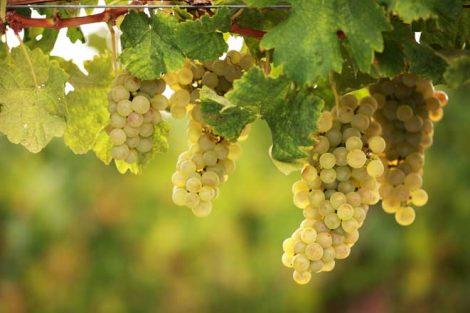 uva bianca 470x313
