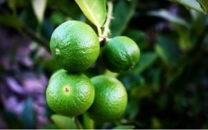 chinotto ant 300x188 1 300x188 300x188