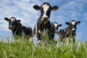 mucche-300x200